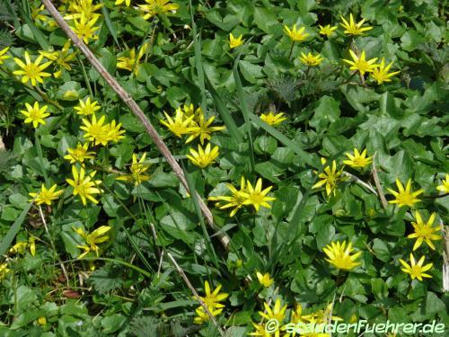 Bild Ranunculus ficaria | Ficaria verna