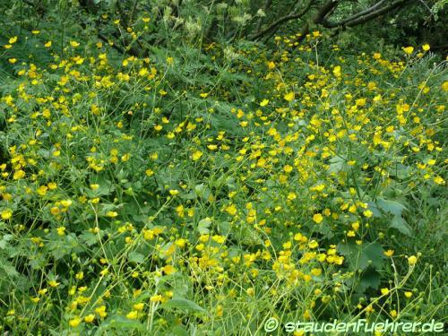 Image Ranunculus lanuginosus