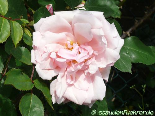 Bild Rosa 'Albertine'