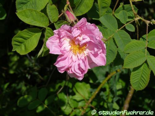 Bild Rosa x damascena 'trigintipetala'