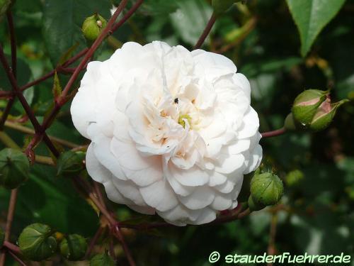 Bild Rosa 'Felicite et Perpetue'