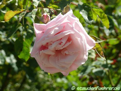 Bild Rosa 'Blossomtime'