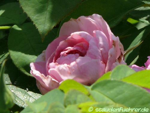 Bild Rosa 'Gertrude Jekyll'