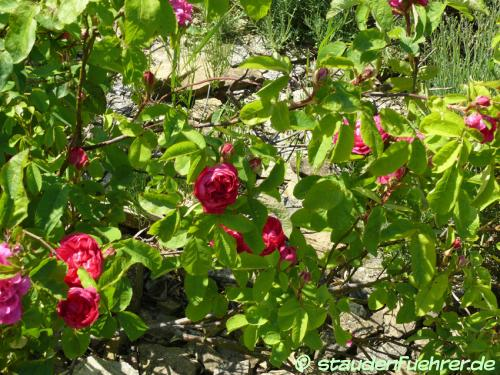 Bild Rosa 'Rose du roi'