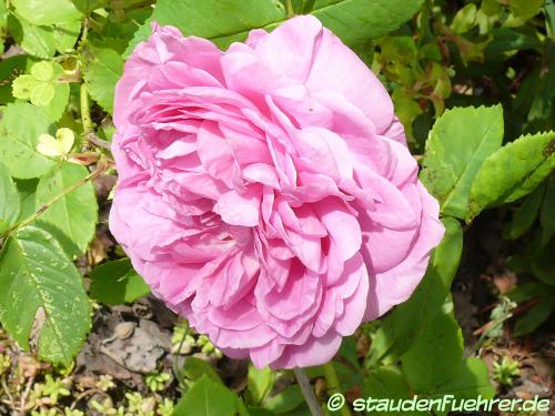 Bild Rosa 'Louise Odier'
