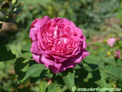Bild Rosa 'Reine des Violettes'