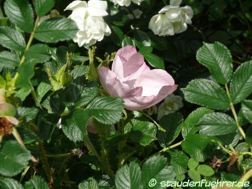 Image Rosa rugosa 'Frau Dagmar Hastrup'