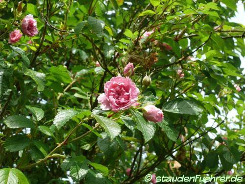 Bild Rosa rugosa 'Pink Grootendorst'