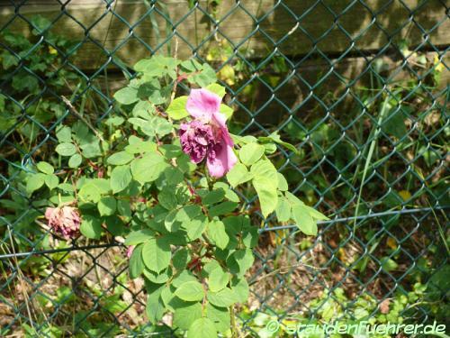 Bild Rosa rugosa 'Rose a Parfum de l'Hay'
