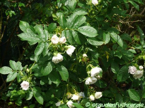 Bild Rosa rugosa 'Weiße Nelkenrose'