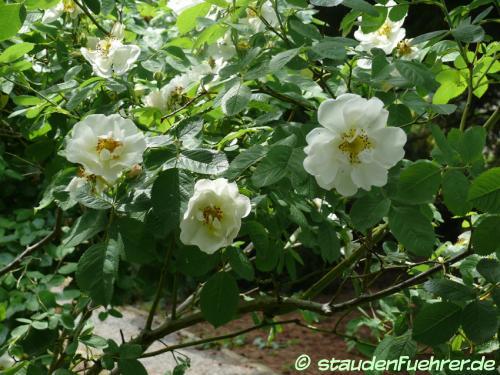 Bild Rosa alba 'Semiplena'