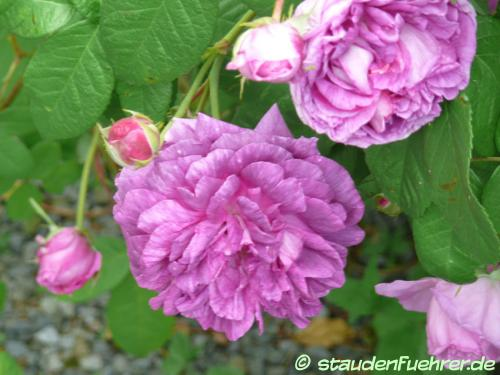 Bild Rosa centifolia 'Tour de Malakoff'