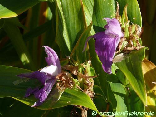 Bild Roscoea auriculata