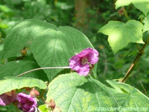 Image Rubus odoratus