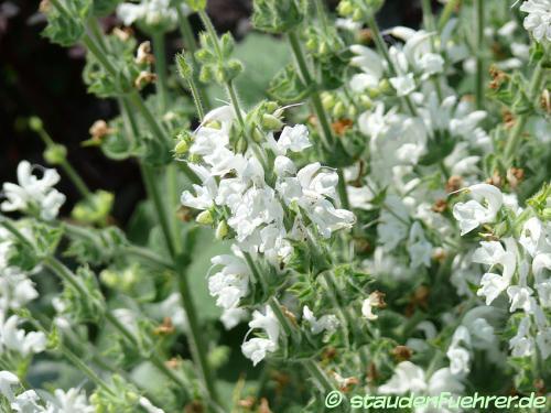 Image Salvia argentea