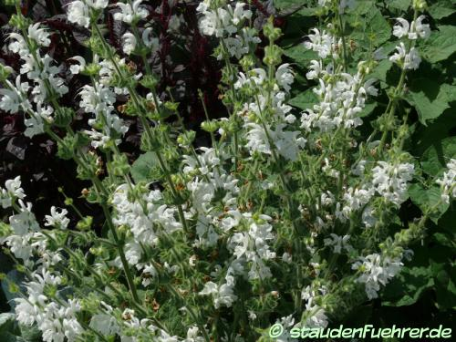 Bild Salvia argentea