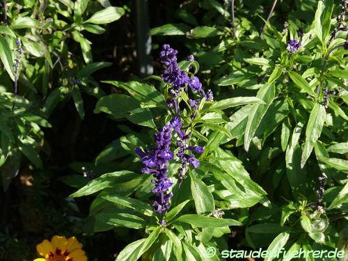 Image Salvia farinacea 'Rhea'