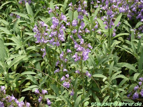 Image Salvia lavandulifolia