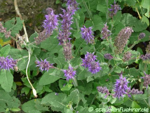 Image Salvia nemorosa 'Mainacht'
