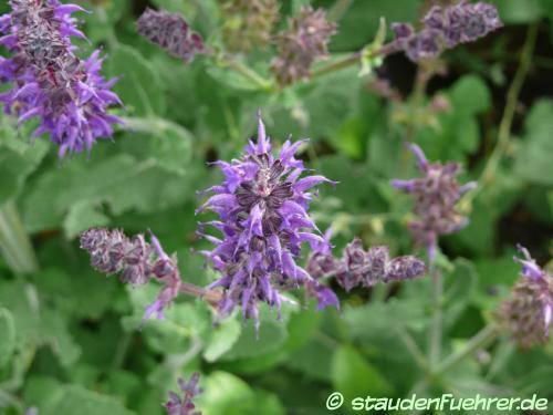Bild Salvia nemorosa 'Mainacht'
