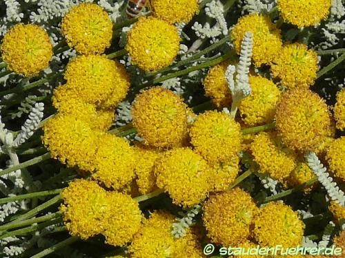 Image Santolina chamaecyparissus