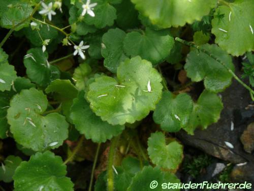 Image Saxifraga rotundifolia