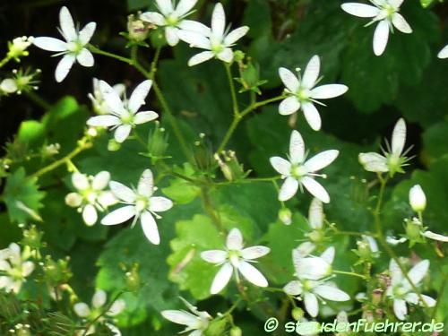 Bild Saxifraga rotundifolia