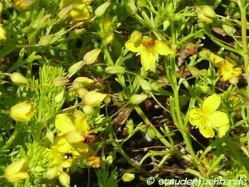 Image Scoparia dulcis 'Illumina Lemon Mist'