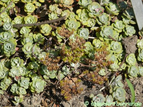 Bild Sedum spathulifolium 'Cape Blanco'