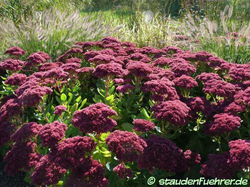 Image Sedum telephium 'Herbstfreude'