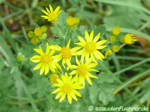 Bild Senecio vulgaris