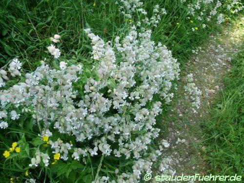 Bild Silene vulgaris