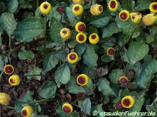 Bild Spilanthes oleracea