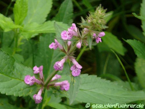 Bild Stachys palustris