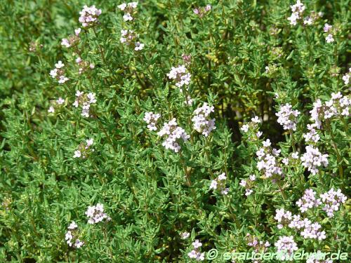Image Thymus vulgaris