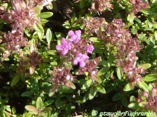 Bild Thymus serpyllum 'Coccineus'