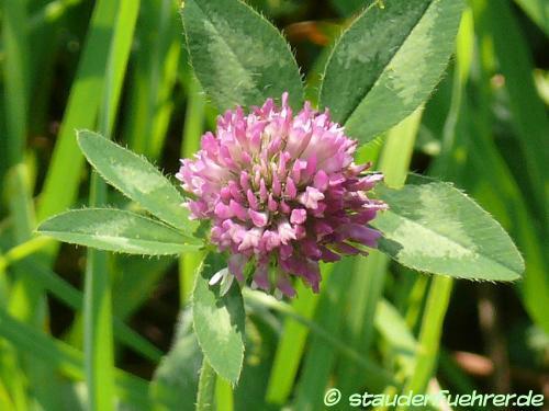 Bild Trifolium pratense