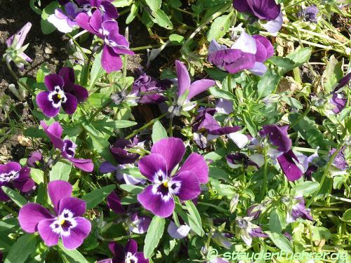 Image Viola cornuta