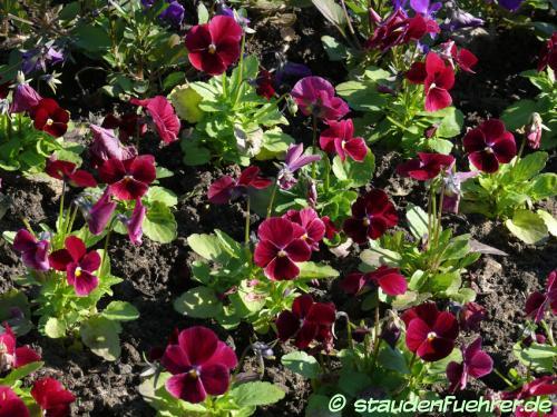Bild Viola cornuta 'Rose With Eye'