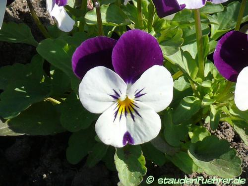 Image Viola cornuta 'White Purple Wing'