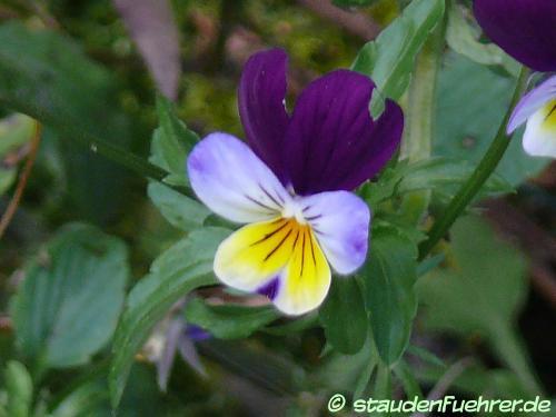 Image Viola tricolor