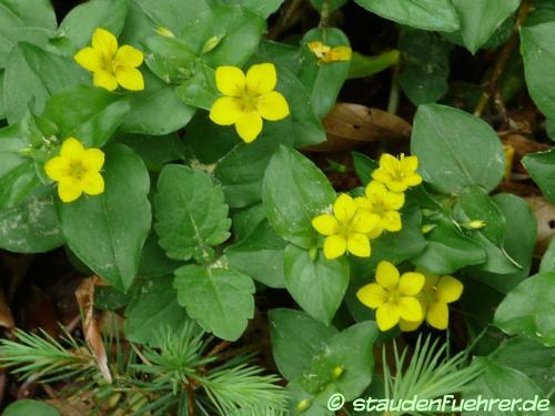 Bild Waldsteinia ternata