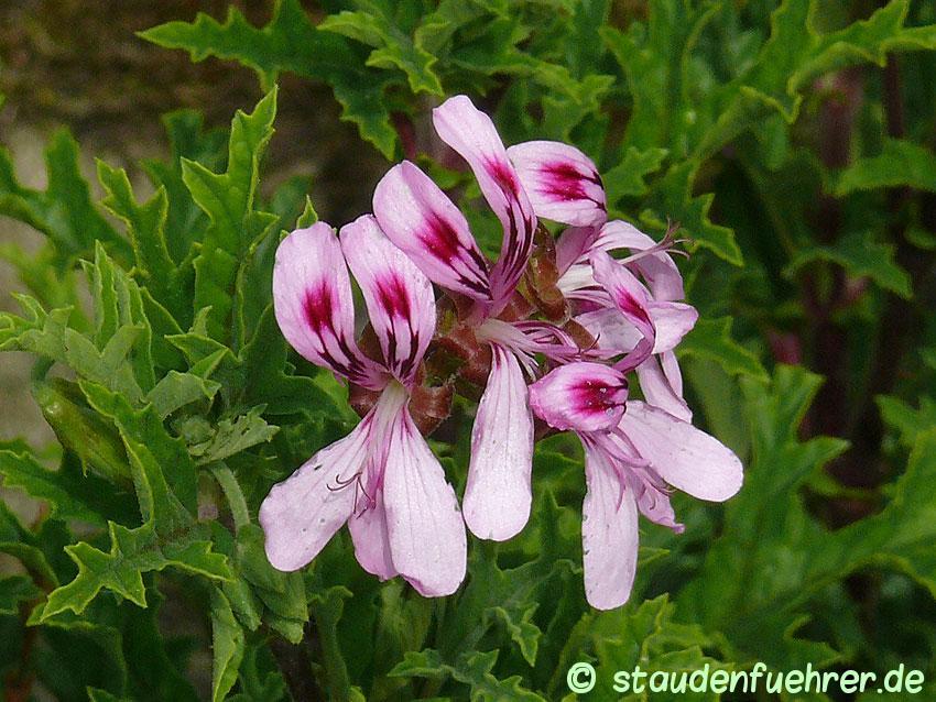 Pelargonium pseudo glutinosum | staudenfuehrer de