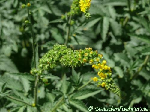 Bild Agrimonia eupatoria