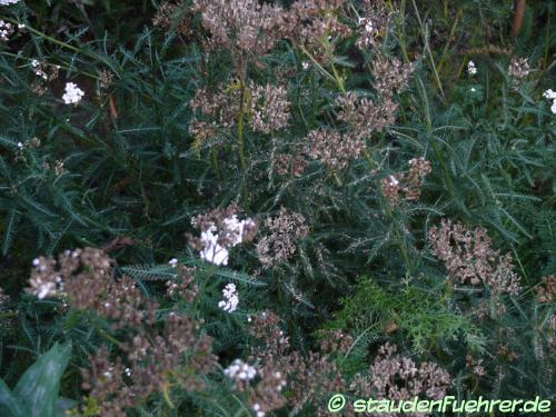 Image Achillea asplenifolia