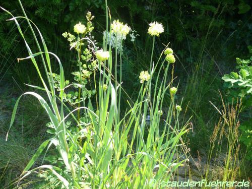 Bild Allium obliquum