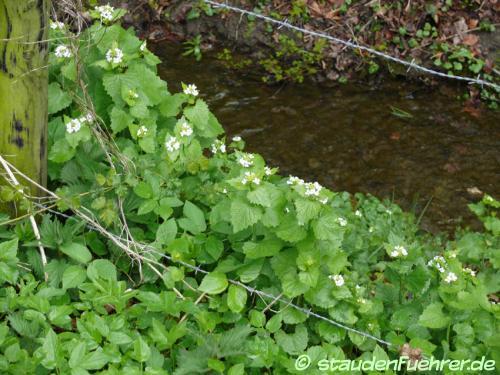 Image Alliaria petiolata
