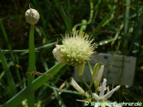 Bild Allium altaicum