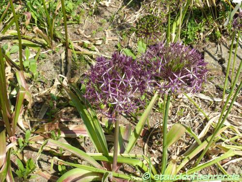 Bild Allium christophii