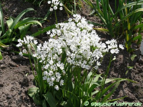 Bild Allium cowanii